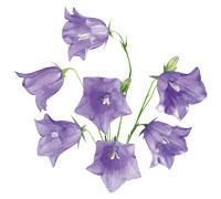 Wildflowers. bellflower.  Опубликовал. flowers. колокольчик. цветы.  Теги.  Wild. harebell. колокольчики. цветок...